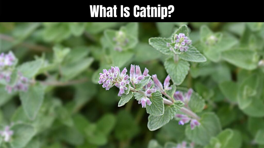 Is Catnip Safe to Give to Cats?